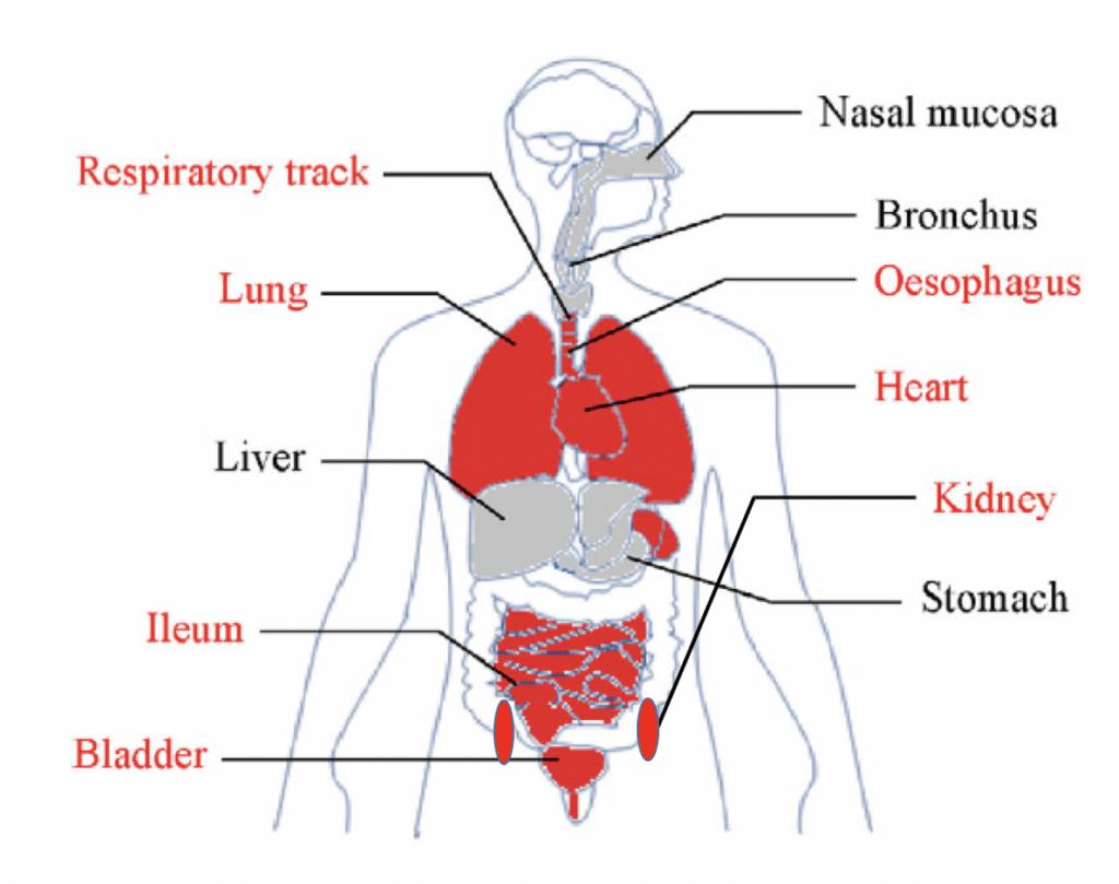 organen die gevoelig zijn voor coronavirus